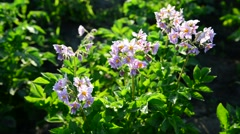 Flowering potatoes in the summer day Stock Footage