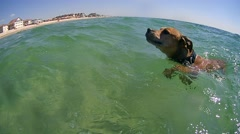 American Pit Bull Terrier floating in the sea Stock Footage