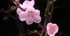 Japanese sakura cherry blossom flowering on tree branch time lapse Stock Footage