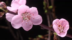 Blossoming pink cherry blossom flower opening spring time lapse Stock Footage