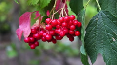 Viburnum opulus ripe red berries closeup Stock Footage