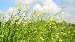 Yellow blooming canola against sky Stock Footage