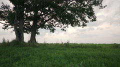 Oak and maple grow together on green field in sunset light walking side tracking Stock Footage
