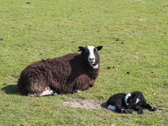 Balwen Welsh Mountain Sheep and Lamb Stock Photos