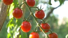 Gardener Picking cherry Tomato Garden Farmer Harvesting Tomatoes organic 4k Stock Footage