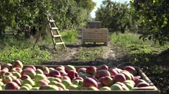 Wooden box full of ripe red apple fruit plantation at autumn. 4K Stock Footage