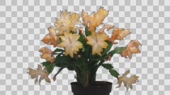 Time-lapse of growing and blooming orange Christmas cactus, 4K with ALPHA Stock Footage