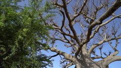 Baobab tree in Africa - African landscape Stock Footage