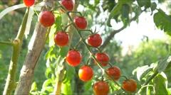 Mature Tomatoes traditional Organic Tomato 4k farm chemical free no GMO Stock Footage