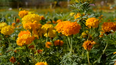 Petunia flowers, yellow and orange grown in the home garden Stock Footage