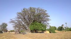 African landscape - Largest baobab tree in Senegal Stock Footage