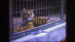 1963: this huge male bengal tiger looks very complacent here at the zoo. FRANCE Stock Footage