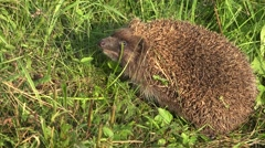 4K Cute hedgehog animal in wildlife wild habitat in green grass small pet nature Stock Footage