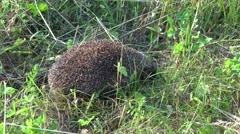 4K Scared hedgehog animal running in green grass follow wild pet habitat fauna Stock Footage