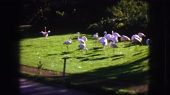1963: pink flamingo spreads it's wings in front of fellow pink flamingos. FRANCE Stock Footage