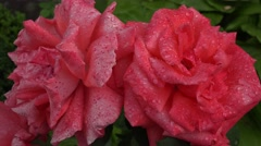 4K Amazing rose blossom flower with water drop romantic symbol flora after rain Stock Footage