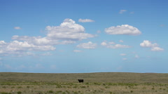 West Texas - Cow Standing in Field - outstanding in its field Stock Footage