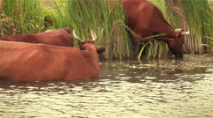 Red cow drink dirty water from the river. Slowmotion Stock Footage