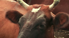 A big cow had settled on the flies at the watering. Slowmotion Stock Footage