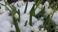 4K Snow fall on snowdrop flower snow-bell blowing in spring day fragile flora Stock Footage