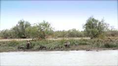 African warthog family drink from the river - Africa Stock Footage