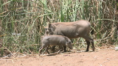 African warthog family in the wild - Africa Stock Footage