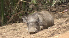 Baby African warthog - Africa Stock Footage