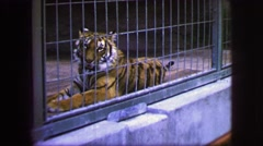1963: a tiger is seen in a cage FRANCE Stock Footage