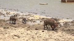 African warthog in the riverside - Africa, Senegal Stock Footage