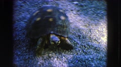 1963: a turtle walks (not so slowly) on the gravel and pries a bit FRANCE Stock Footage