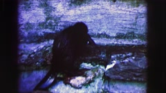 1963: beaver transporting her young. FRANCE Stock Footage