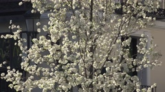 4K Beautiful tree white blossom flower springtime urban city garden bloom day Arkistovideo