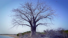 One big abandoned tree in a barren landscape Stock Footage