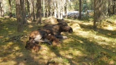 Female moose feeds newborn calf with milk Stock Footage