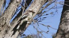 Kokaburra on branch , sunny day Stock Footage