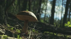 Mushroom in the forest scatters spores. Reproduction of fungi. Stock Footage
