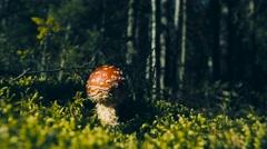 The most famous poisonous mushroom edible mushroom. Stock Footage
