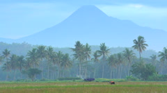 Rural farm workers in rice fields in front of Mt Merapi volcano Java Indonesia Stock Footage