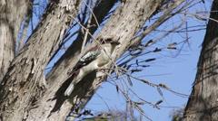 Kokaburra on branch then flyes Stock Footage