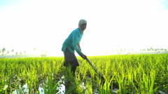 Asian female working in rural rice fields Java Indonesia South East Asia Stock Footage