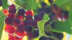 Grapes in sunlight. Green leaves and bright clusters of grapes. Stock Footage
