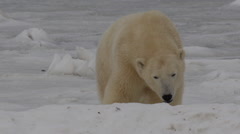 Slow motion - two polar bears bight and attack each other on ice Stock Footage
