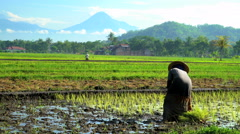 Manual farm worker in tropical rice fields near Mt Merapi volcano Java Stock Footage