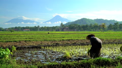Manual female worker in tropical rice fields near Mt Merapi volcano Java Stock Footage