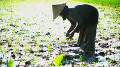 Farm worker planting rice seedlings in Java Indonesia Stock Footage