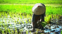Female farming worker planting seedlings in rice fields Java Indonesia Stock Footage