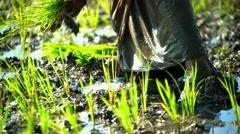 Farm worker planting seedlings in rice fields Java Indonesia Stock Footage