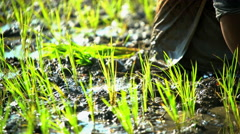 Female worker planting rice seedlings in field Java Indonesia Stock Footage