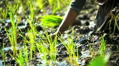 Rural farm worker planting rice seedlings in field Java South East Asia Stock Footage