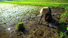 Traditional female field worker planting rice seedlings in Java Indonesia Stock Footage
